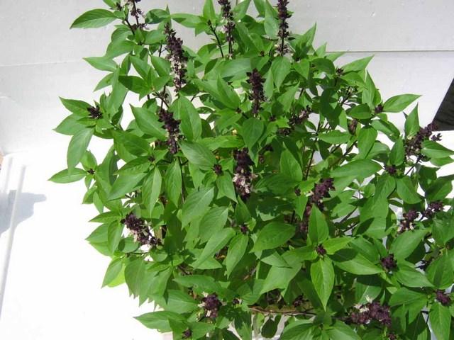 صورة ماهو نبات الميرميه