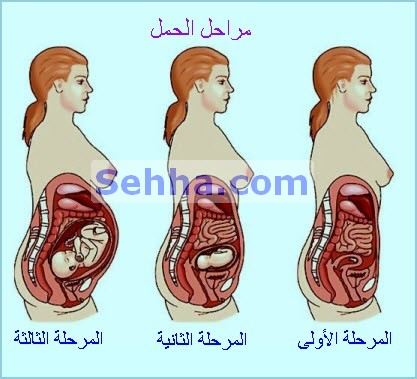 صورة الحمل في المراحل الاولى
