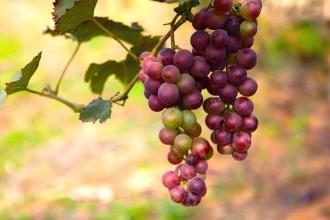 صورة بحث حول العنب وفوائده
