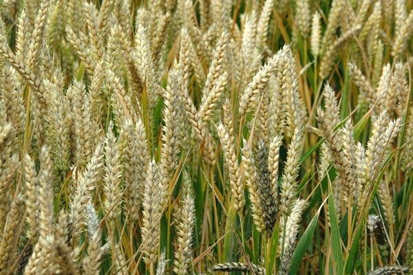 صورة القمح وفوائده التي لاتحصى