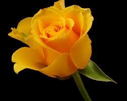 اجمل وردة صفراء في العالم احلى بنات