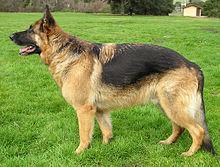 صور تفسير رؤية الكلب في المنام