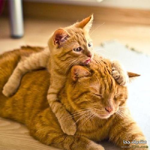 صور صور لقطط ملقمة